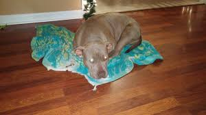 american pitbull terrier hoobly registered male and female pitbull terriers in hoobly classifieds
