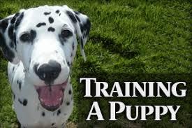 dalmatian breed dalmatian breed care health training