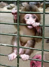 Monkey Meme - i can has cheezburger monkey funny animals online cheezburger