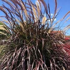 1 gal rubrum purple pennisetum grass live plant 21941