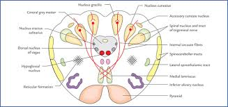 What Is The Main Function Of The Medulla Oblongata Brainstem Neupsy Key