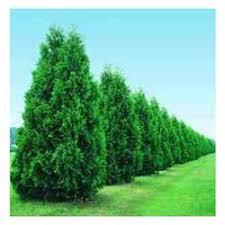 decorative trees buy in ludhiana