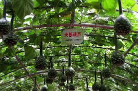 shop ornamental fruit plants bottle gourd swan gourd seeds