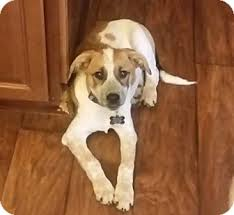 bluetick coonhound kennels in tennessee cooper adopted dog cookeville tn english redtick