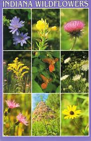 native indiana plants indiana wildflowers u s a chicory evening primrose canada