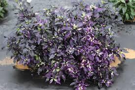 photo of the entire plant of ornamental pepper capsicum annuum