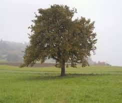 pear tree life expectancy u2013 what is the lifespan of pear trees