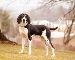 6 month old bluetick coonhound weight treeing walker coonhound dog breed information pictures