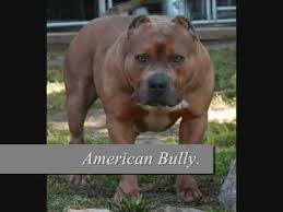 american pitbull terrier types behind the breed american pit bull terrier dogs youtube