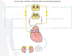 Heart Anatomy And Function The Physiology Of Fetal Heart Rate U2013 Perigen