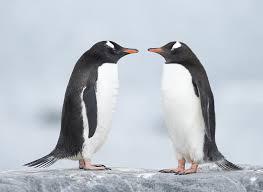 november birth animal adelie penguin pygoscelis adeliae animals a z animals