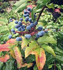 foraging for oregon grape