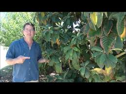 Urban Garden Phoenix - amazing fruit trees u0026 urban garden in phoenix arizona youtube