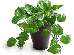easy flowers to grow indoors low maintenance houseplants hgtv