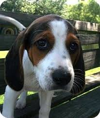 bluetick coonhound owners treeing walker coonhound breed information for this lesser known