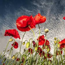 red poppy live wallpaper android apps on google play