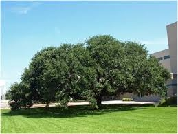 best shade trees in virginia america s best energy team