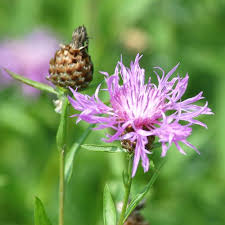 Weed Or Flower Pictures - pictures of noxious weeds identification help