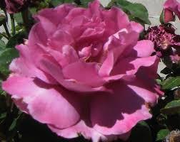 plants u0026 flowers rosa double delight