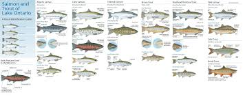 salmon and trout identification steelhead and salmon fishing