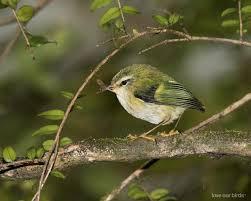 Canopy Birds by Rifleman New Zealand Birds Online