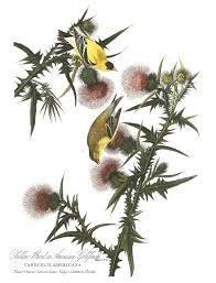 bird friendly native plants audubon reimagining the american goldfinch audubon