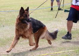 belgian shepherd history german shepherd dog