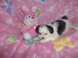 bichon frise kennels bichon frise maltese poodle shih tzu designer breeds puppy
