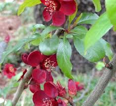 145 best ornamental fruit trees 1 images on fruit