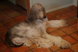does an afghan hound shed afghan hound miracle paws