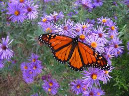 native plants for butterflies new england u0027s native plants are in serious decline new report