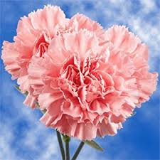 wholesale carnations globalrose 200 fresh cut pink carnations fresh