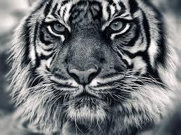 tigers stock photo download wallpaper animal photos animals