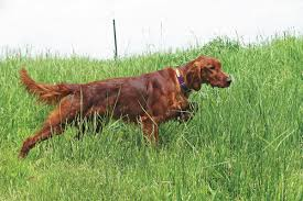 irish setter male dog names 50 most beautiful irish setter dog pictures and photos