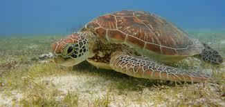 world turtle day the maldives u0027 sea turtles in a nut shell u2013