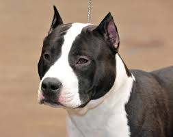 american pitbull terrier qualities view topic thoughts about pitbulls pit chat chicken smoothie