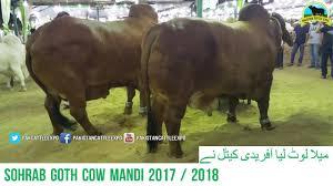 621 cow mandi 2017 2018 karachi sohrab goth catwalk