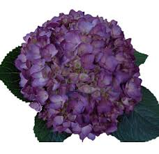 wholesale hydrangeas buy fresh dyed purple hydrangeas for weddings at wholesale