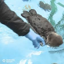 Sea Otter Meme - wild sea otter gifs get the best gif on giphy