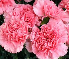 carnations flowers carnation is the birthday flower for january but it gets no