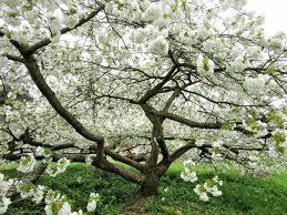 prunus shirotae japanese flowering cherry shirotae cherry