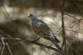 of turtle doves