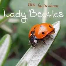 fun facts about ladybugs home grown fun