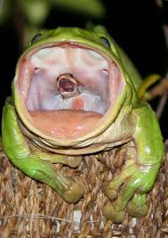 incredible photo catches the moment a frog swallows a snake