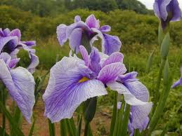 mcewen japanese iris eartheart gardens
