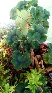The Geranium On The Windowsill Just Died How To Keep Geraniums In Winter