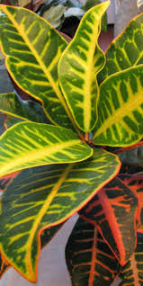 Croton Tropical Plant 24 Best Croton Images On Pinterest Tropical Gardens Tropical