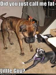 Boston Terrier Meme - 20 funniest looking boston terriers playbuzz
