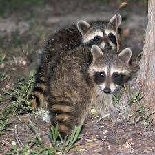 Arkansas wild animals images 1382 best ti racoon images raccoons wild animals jpg