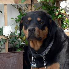 an owner u0027s guide to a healthy rottweiler diet rottweilerguide com